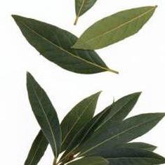 Plante mari inaltime 50 cm de Dafin adevarat, plante sanatoase cu radacini - Pomi fructiferi
