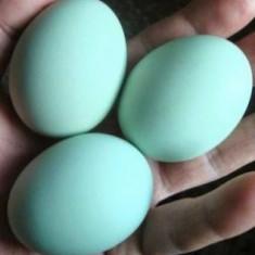 Vând ouă de Araucana