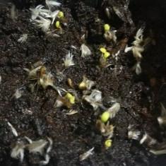Gazania seminte 4 culori mix - 300 seminte hibrid