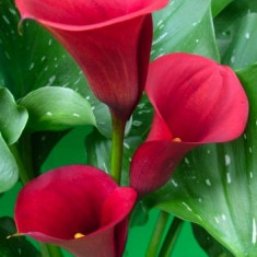 CALLA RED MAJESTY - Crini