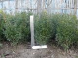 Buxus 30-40 cm, gradina personala (plante decorative)