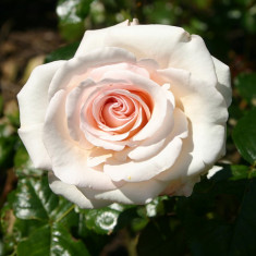 The Soham Rose by Harkness an 2 - Trandafiri