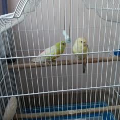 Vind pereche papagali cintatori