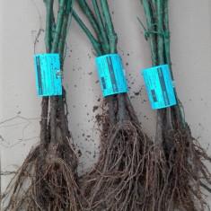 Plante vita de vie