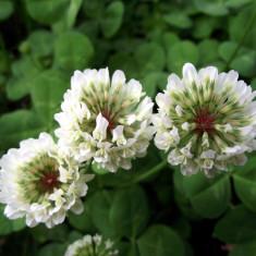 Semințe Trifolium repens - VYSOCAN
