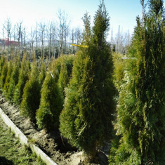 Tuia columnara - Thuja occ. columnaris