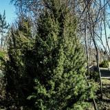 Ienupăr - Juniperus scop. Skyrocket