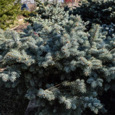 Molid argintiu globulos - Picea glauca Globossa - Molizi