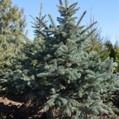 Molid argintiu - Picea pungens - Molizi