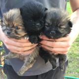 Pomeranian Boo catelusi de rasa de talie Toy - Caini