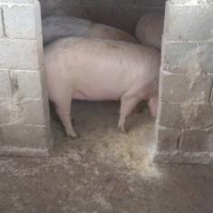 Porci grasi