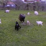 Capre tinere cu lapte - Oi/capre