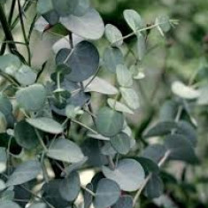 Eucalyptus guNnii Silver Tropfen– eucalipt tasmanian