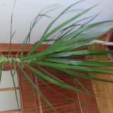 Vand planta ornamentala dracaena