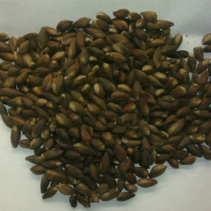 Seminte de Thuja orientalis (arborele vietii) (15 seminte) cultiv. si ca Bonsai