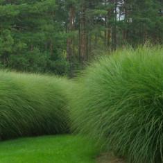 Miscanthus sinensis – miscantus, iarba elefantului