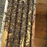 Stupi si roi de albine cu matca tanara 2017 - Apicultura
