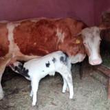 Baltata romaneasca 6 ani si vitel o saptamana - Bovine