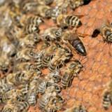 Vand pachet familii albine si roiuri - Apicultura