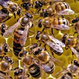 Roiuri albine - Apicultura