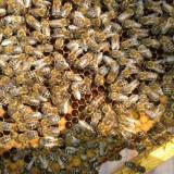 Roi, familii de albine, stupi - Apicultura