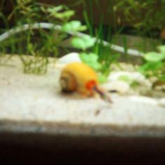 Vand guppy - Pesti