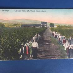 Odobesti - Culesul Viilor - Carte Postala Muntenia 1904-1918, Circulata, Fotografie