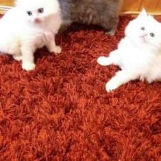 Pui pisica persană - Pisica de vanzare