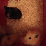 Hamsteri sirieni puiuti de vanzare