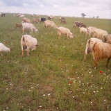Vand capre toata turma 170 lei buc urgent - Oi/capre
