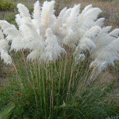 Cortaderia s. White plume – iarba de Pampas alba
