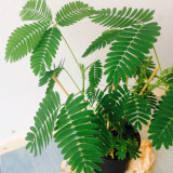 Mimoza- planta miscatoare (Mimosa Pudica)