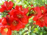 Chaenomeles ×superba 'Nicoline' – gutui japonez