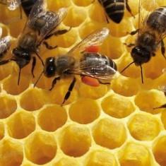 Ofer familii de albine pentru polenizare