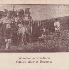 ROMANIA, CULESUL VIILOR IN ROMANIA - Carte postala tematica, Necirculata, Printata
