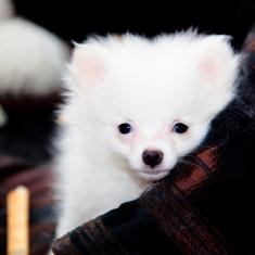Pui Pomeranian - Caini