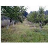 Tuica( Palinca) de prune