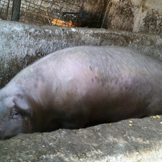 Vand pork 300kg