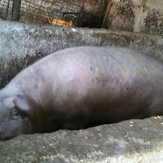 Vand pork 300kg - Porci