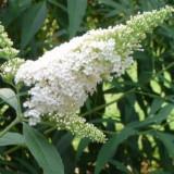 Lliliac de vara (Buddleia)