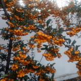Catina ornamentala (Pyracantha)