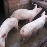 Porci de carne, marele alb