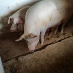 Vand porc pentru sacrificat - MIZIL, PRAHOVA - Porci