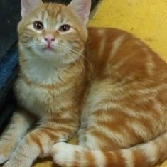Adoptat pisicii superbe. - Pisica de vanzare