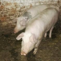 Vând porc - Porci