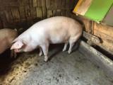Porci de vânzare