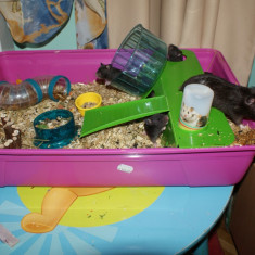 Donez hamsteri sirieni