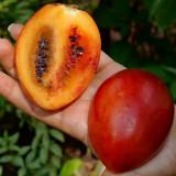 Rosii de Panama .- Solanum betaceum - 3 seminte pt semanat