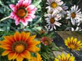 Gazania seminte 4 culori mix - 500 seminte-2gr