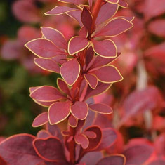 Berberis th. Golden Ring – dracila rosie
